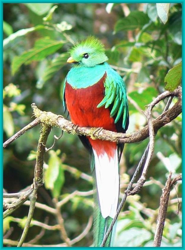Quetzal Foto aus dem Internet