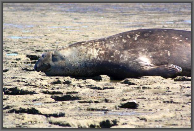 Seeelefant auf Valdes 1